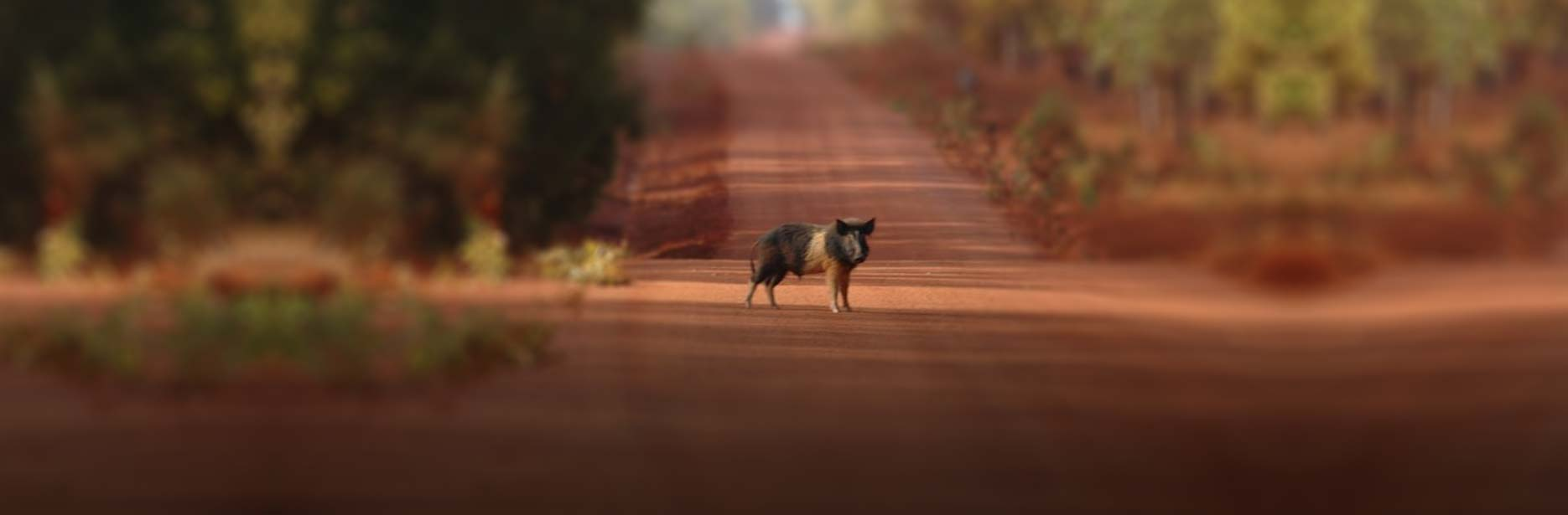 A wild pig at Bramwell Station in Cape York