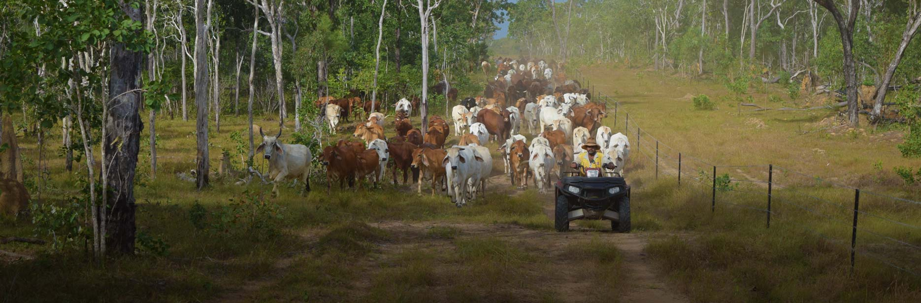 Herding cattle on the Bramwell Cattle Station in Cape York