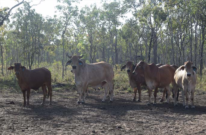 Cattle at the Bramwell Station